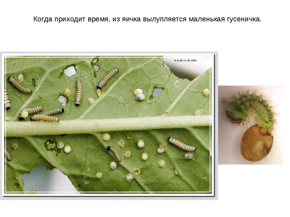 Когда приходит время, из яичка вылупляется маленькая гусеничка.
