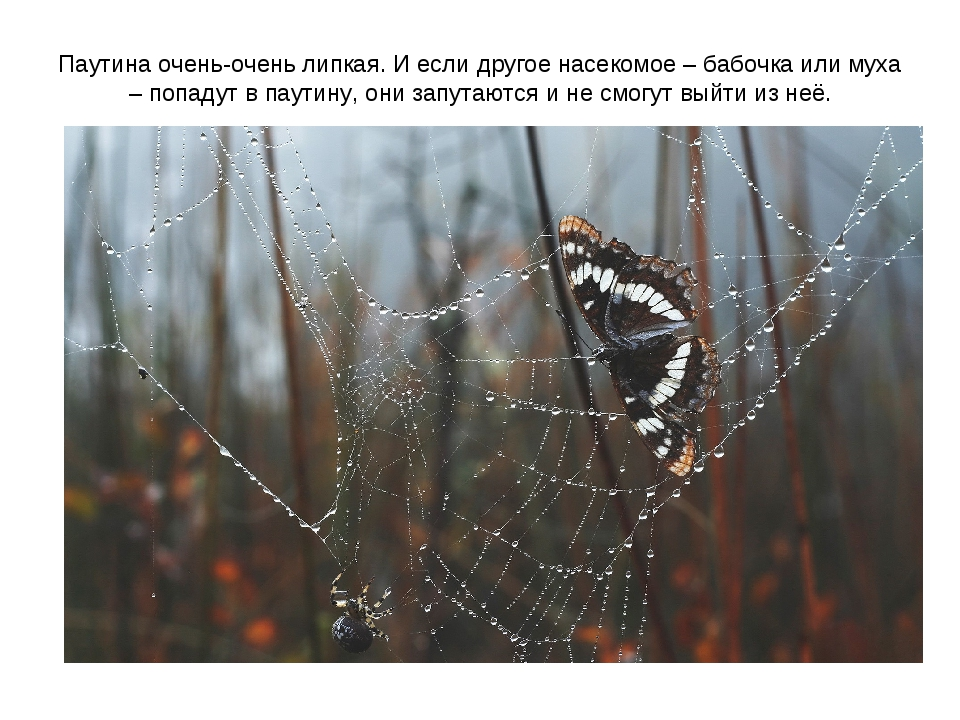 Паутина очень-очень липкая. И если другое насекомое – бабочка или муха – попа...
