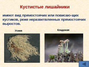 Кустистые лишайники имеют вид прямостоячих или повисаю-щих кустиков, реже нер