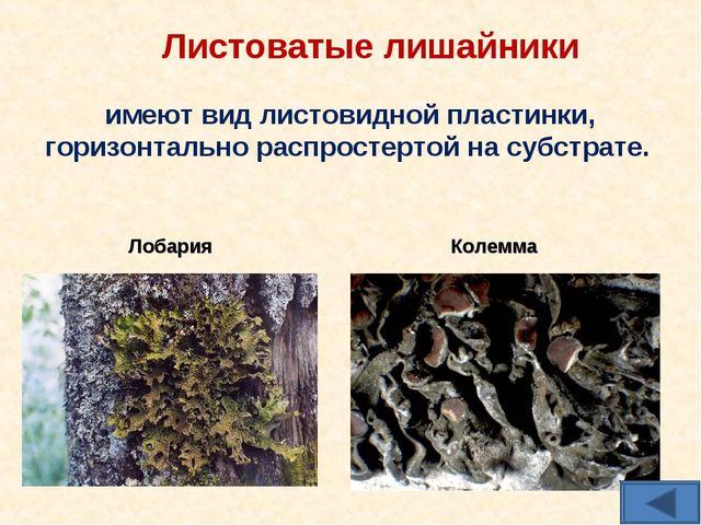Листоватые лишайники имеют вид листовидной пластинки, горизонтально распросте...