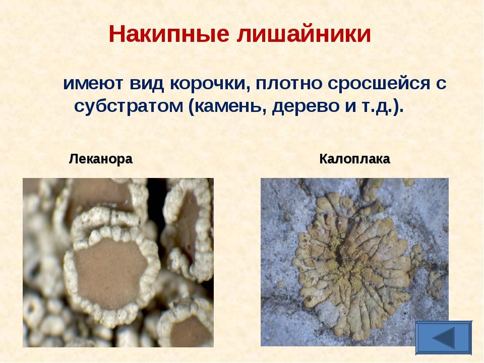 Накипные лишайники имеют вид корочки, плотно сросшейся с субстратом (камень,...