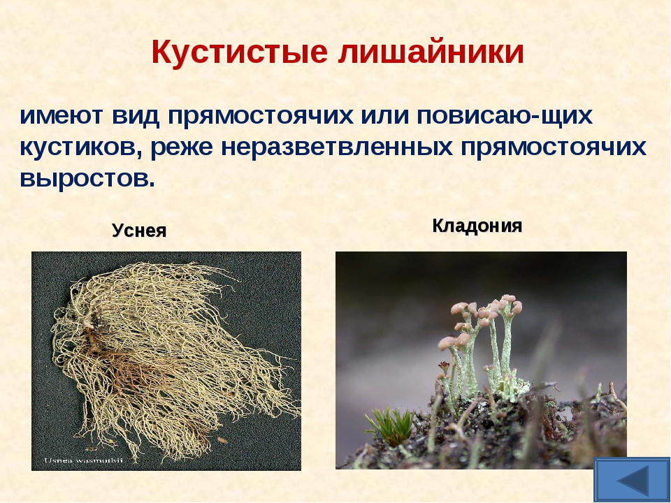 Кустистые лишайники имеют вид прямостоячих или повисаю-щих кустиков, реже нер...