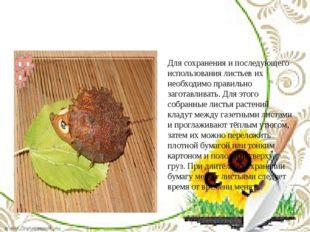 Для сохранения и последующего использования листьев их необходимо правильно з