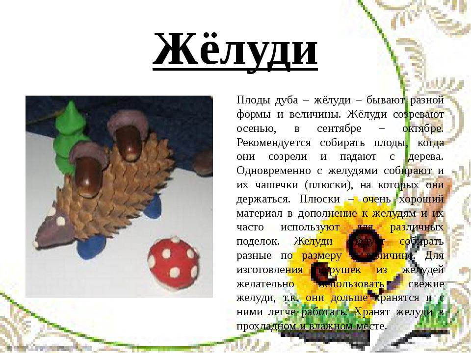Жёлуди Плоды дуба – жёлуди – бывают разной формы и величины. Жёлуди созревают...