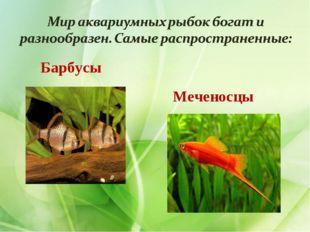 Барбусы Меченосцы