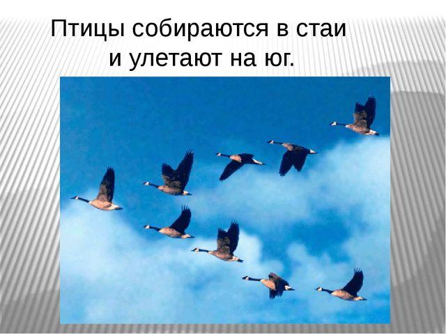 Птицы собираются в стаи и улетают на юг.