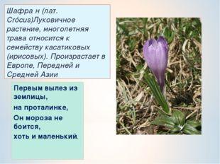 Шафра́н (лат. Crócus)Луковичное растение, многолетняя трава относится к семей