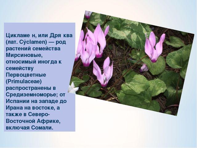 Цикламе́н, или Дря́ква (лат. Cýclamen) — род растений семейства Мирсиновые, о...