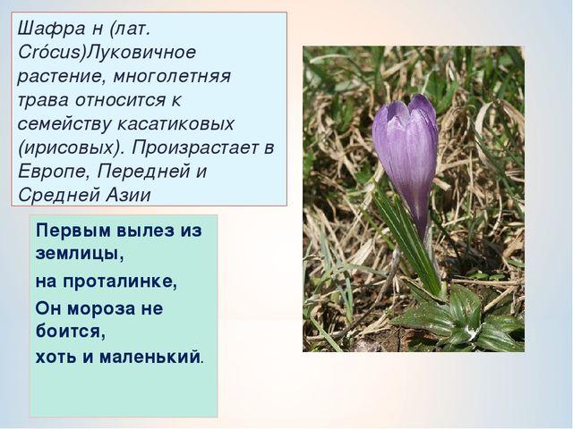 Шафра́н (лат. Crócus)Луковичное растение, многолетняя трава относится к семей...