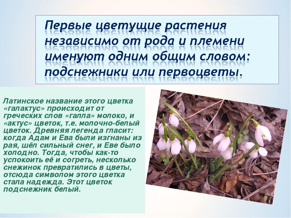 Латинское название этого цветка «галактус» происходит от греческих слов «гал...