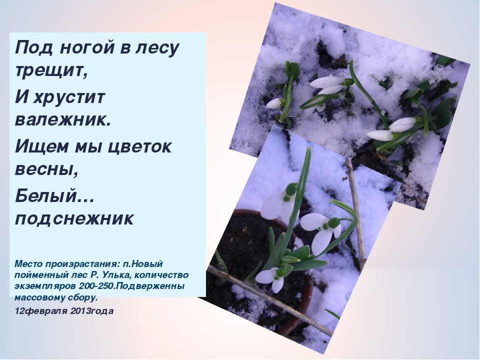 Под ногой в лесу трещит, И хрустит валежник. Ищем мы цветок весны, Белый…подс...