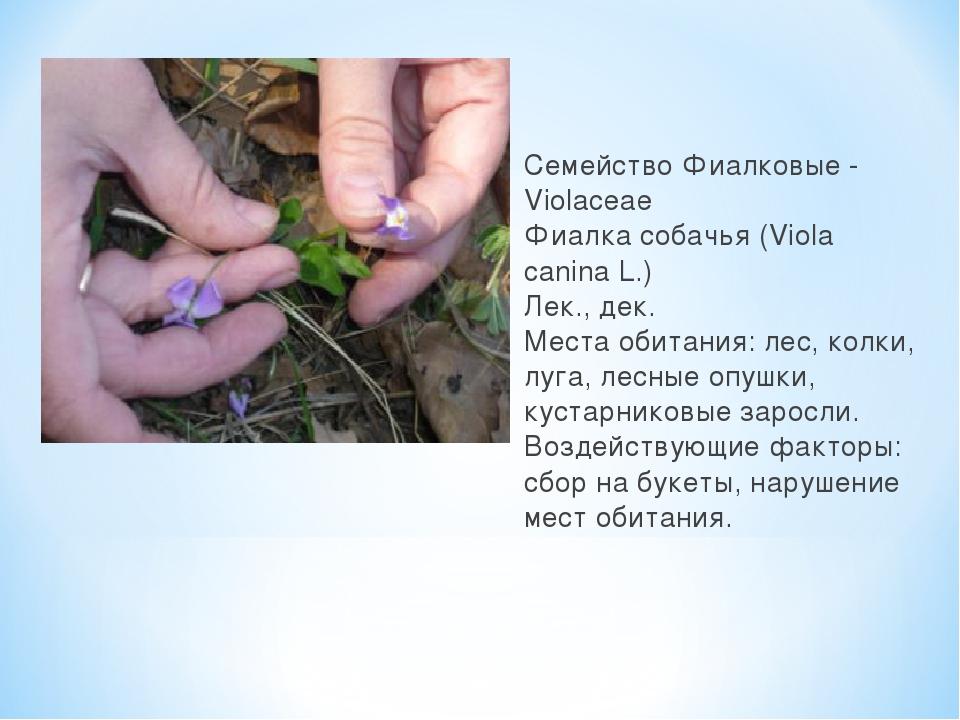 Семейство Фиалковые - Violaceae Фиалка собачья (Viola canina L.) Лек., дек. М...