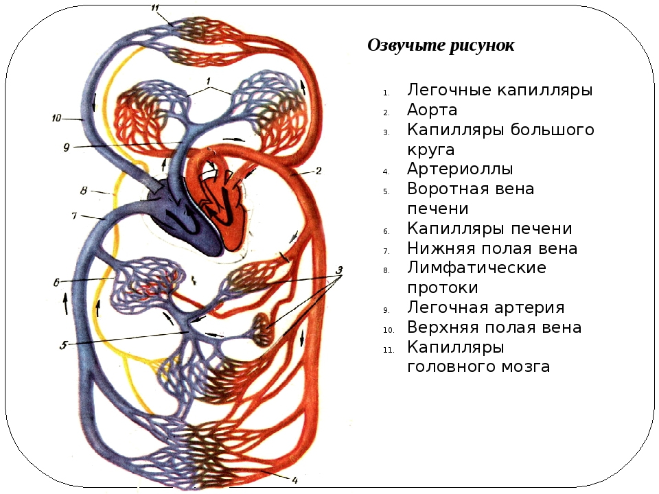Озвучьте рисунок Легочные капилляры Аорта Капилляры большого круга Артериоллы...
