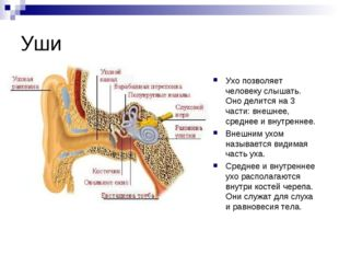 Уши Ухо позволяет человеку слышать. Оно делится на 3 части: внешнее, среднее