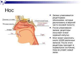 Нос Запахи улавливаются рецепторами обоняниями, которые расположены в верхней