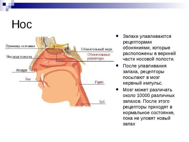 Нос Запахи улавливаются рецепторами обоняниями, которые расположены в верхней...
