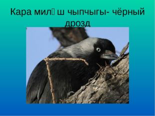 Кара миләш чыпчыгы- чёрный дрозд