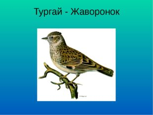 Тургай - Жаворонок