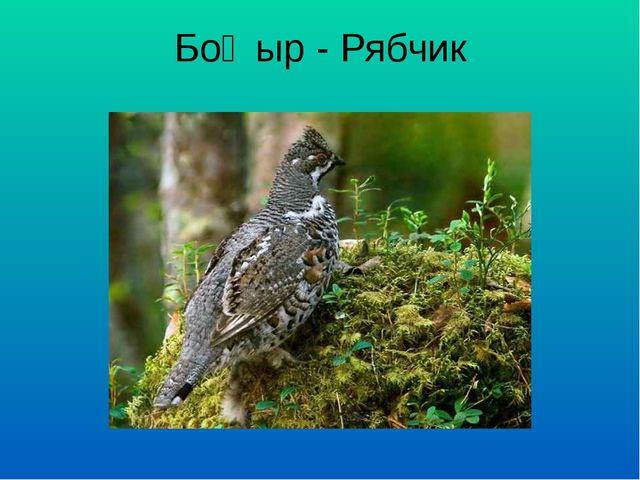 Боҗыр - Рябчик