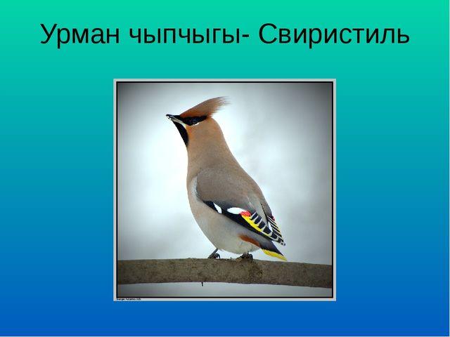 Урман чыпчыгы- Свиристиль