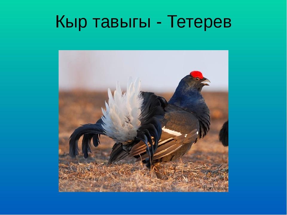 Кыр тавыгы - Тетерев