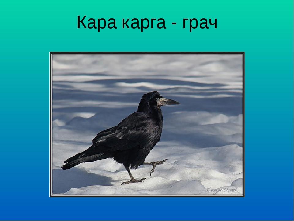 Кара карга - грач