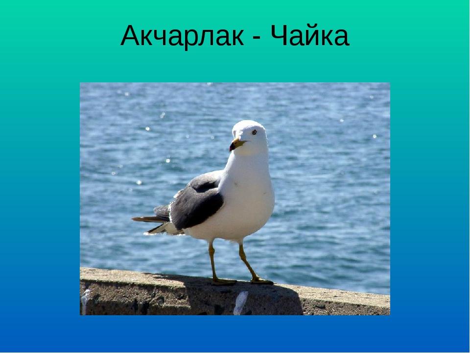 Акчарлак - Чайка