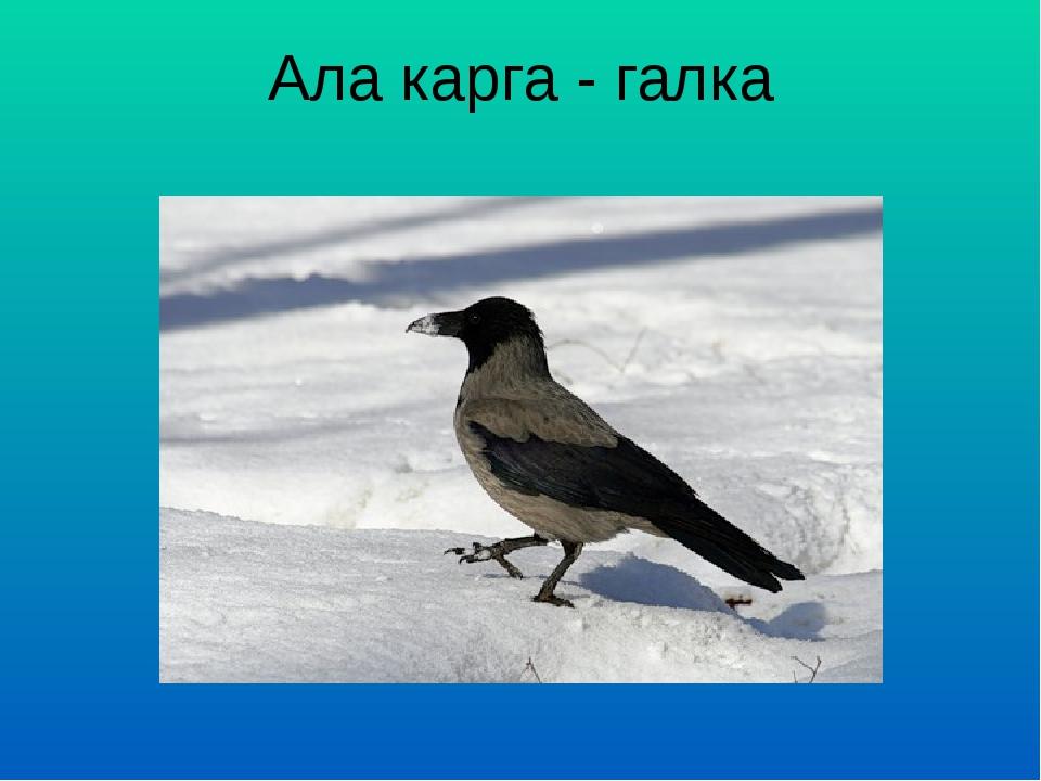 Ала карга - галка