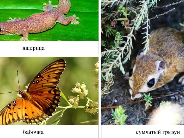 ящерица бабочка сумчатый грызун