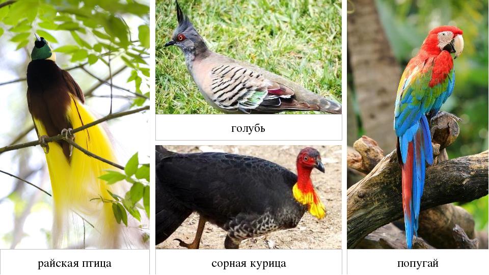 райская птица сорная курица голубь попугай