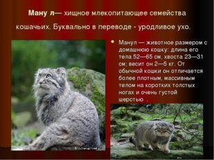 Ману́л— хищное млекопитающее семейства кошачьих. Буквально в переводе - уродл