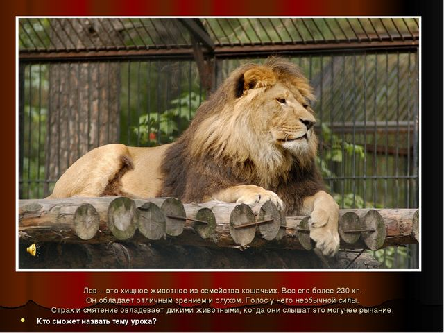 Лев – это хищное животное из семейства кошачьих. Вес его более 230 кг. Он обл...