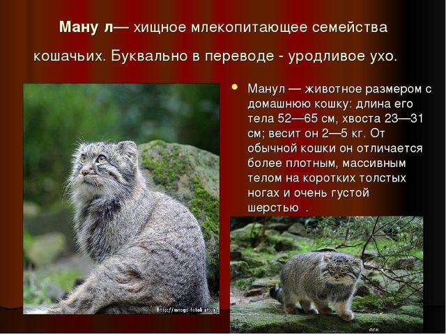 Ману́л— хищное млекопитающее семейства кошачьих. Буквально в переводе - уродл...