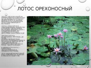 ЛОТОС ОРЕХОНОСНЫЙ ЛОТОС ОРЕХОНОСНЫЙ НА ТЕРРИТОРИИ РОССИИ РАСТЕТ НА ДАЛЬНЕМ ВО