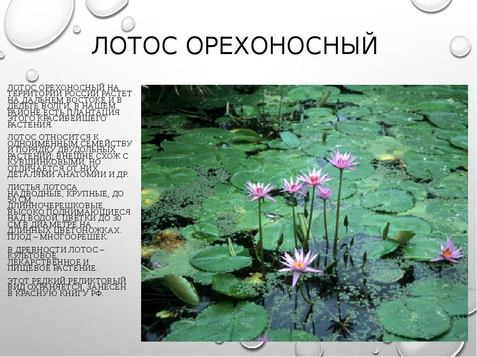 ЛОТОС ОРЕХОНОСНЫЙ ЛОТОС ОРЕХОНОСНЫЙ НА ТЕРРИТОРИИ РОССИИ РАСТЕТ НА ДАЛЬНЕМ ВО...