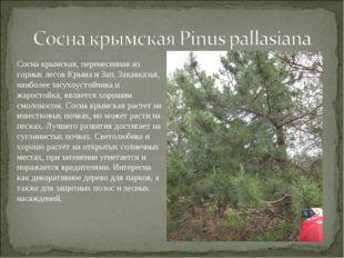 Сосна крымская, перенесенная из горных лесов Крыма и Зап. Закавказья, наиболе