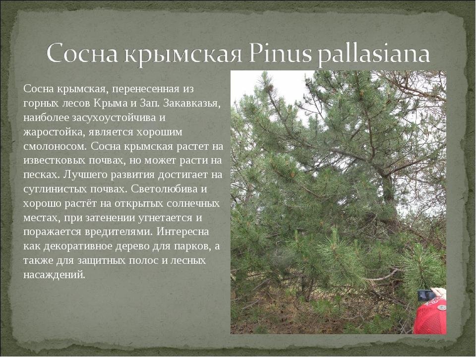 Сосна крымская, перенесенная из горных лесов Крыма и Зап. Закавказья, наиболе...