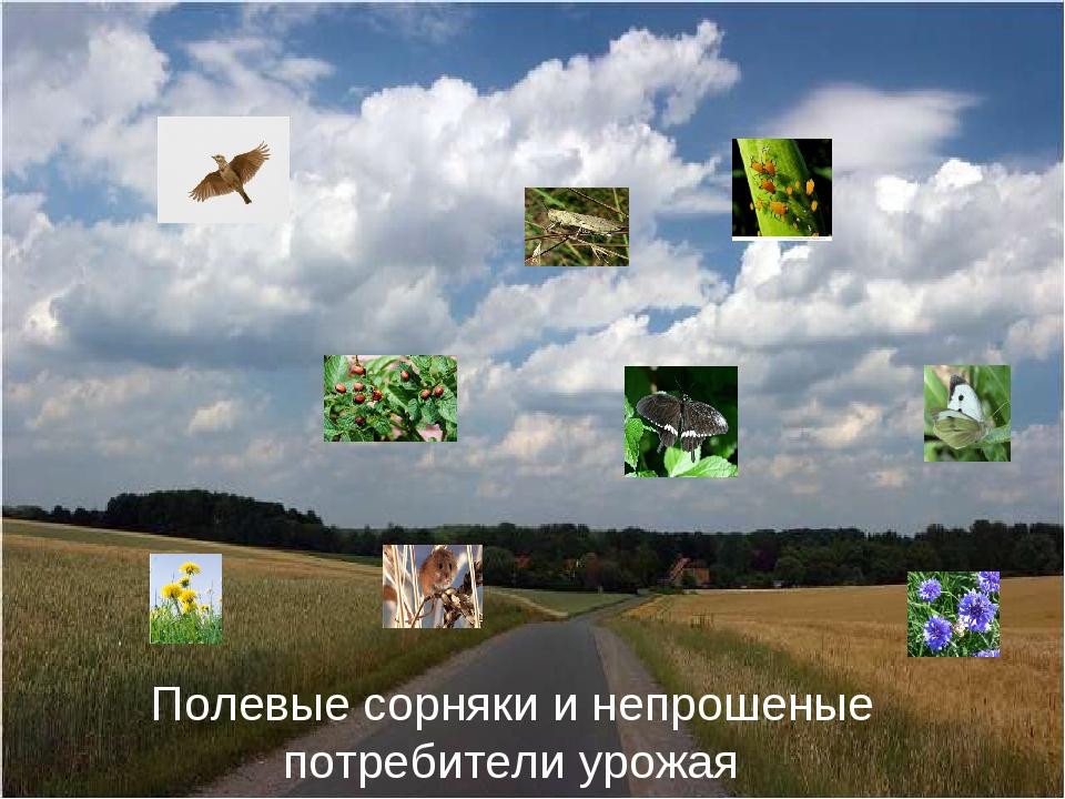 Полевые сорняки и непрошеные потребители урожая
