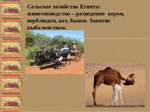 Сельское хозяйство Египта: животноводство – разведение коров, верблюдов, коз