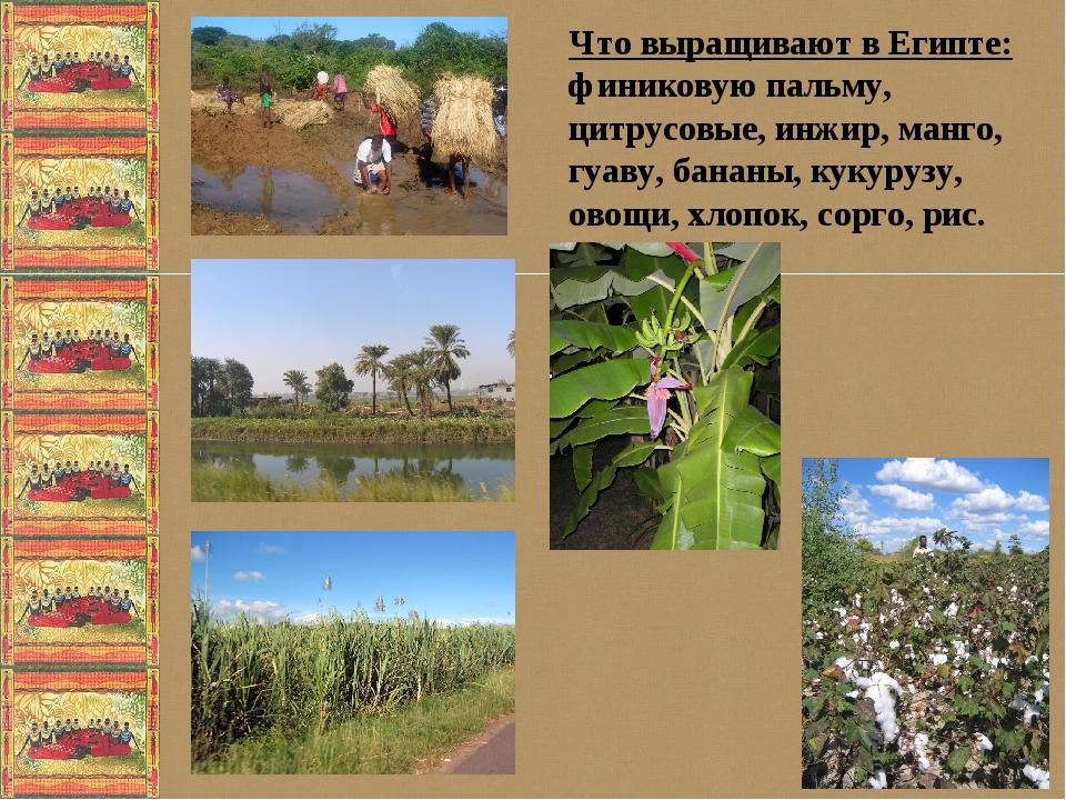 Что выращивают в Египте: финиковую пальму, цитрусовые, инжир, манго, гуаву,...