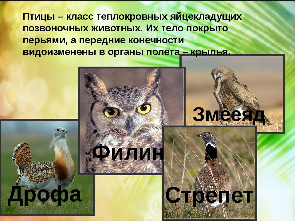 Птицы – класс теплокровных яйцекладущих позвоночных животных. Их тело покрыт...