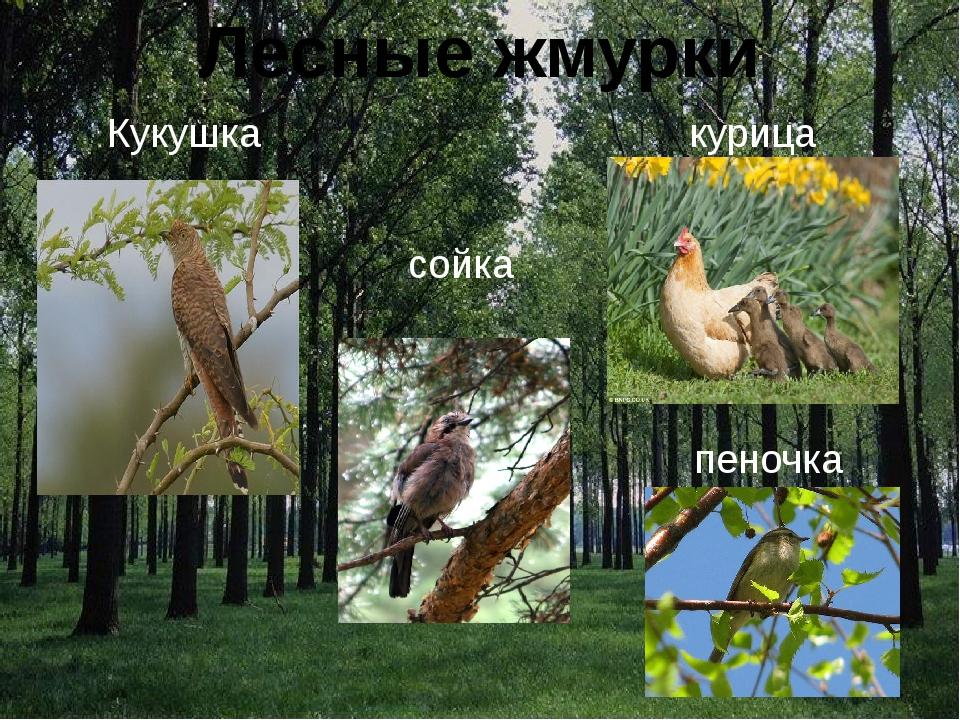 Лесные жмурки пеночка Кукушка курица сойка