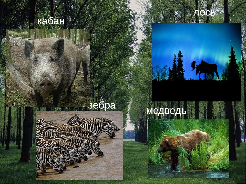 кабан лось зебра медведь