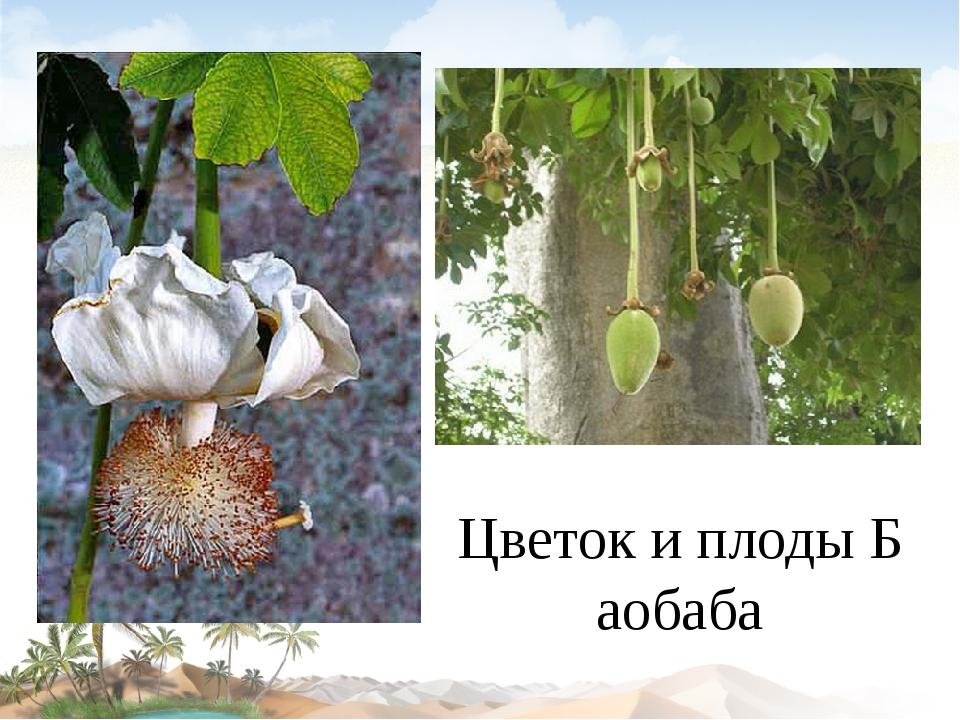 Цветок и плоды Баобаба