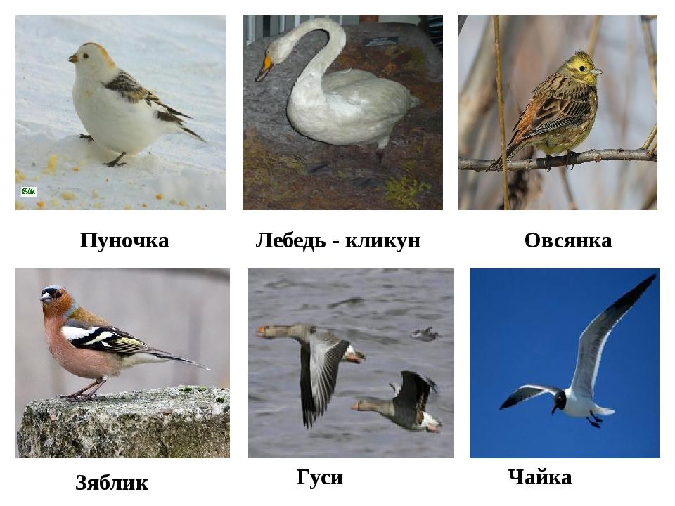 Пуночка Овсянка Лебедь - кликун Зяблик Гуси Чайка