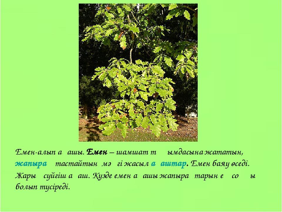 Емен-алып ағашы. Емен – шамшат тұқымдасына жататын, жапырақ тастайтын мәңгі ж...
