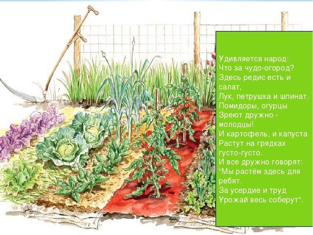 Удивляется народ: Что за чудо-огород? Здесь редис есть и салат, Лук, петрушка...