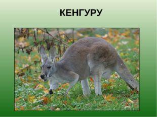КЕНГУРУ Необыкновенное животное. Медлительное и быстрое, доверчивое и боязлив