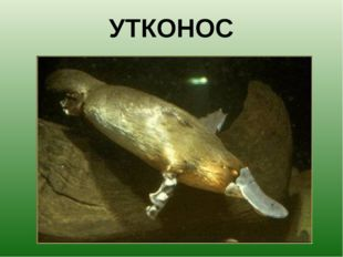 УТКОНОС Клюв позволяет утконосу ориентироваться под водой, когда его глаза и
