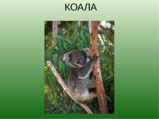 КОАЛА Слово «коала» в переводе с языка аборигенов означает «не испытывающий ж